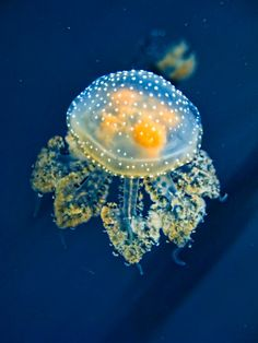 White-spotted Jellyfish (Phyllorhiza punctata) (read more: Wikipedia) (image: young jellyfish, by Andrea)