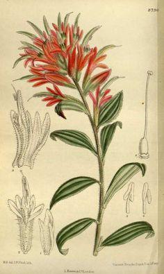 Giant red Indian paintbrush - Castilleja miniata Douglas ex Hook. Curtis's Botanical Magazine, vol. 143 [ser. 4, vol. 13]: t. 8730 (1917) [M. Smith]