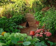 Chickens in the vegetable garden - Des poules dans le potager. With  great photos of protecting the plants from chickens.