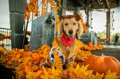 Halloween Fashion, Disney Halloween, Halloween House, Spirit Halloween, Pet Costumes For Dogs, Autumn Animals, Disney Parks Blog, Downtown Disney, Disneyland Resort