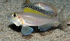 Xenotilapia Melanogenys | ... риби xenotilapia ochrogenys mzuri xenotilapia spilopterus kipili