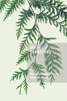 Royalty-free Image: Western red cedar tree branch with green linear…