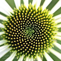 Fibonachi by ghlp #nature #photooftheday #amazing #picoftheday