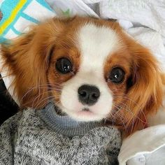 Cute Dogs And Puppies, Baby Dogs, Doggies, Tier Fotos, King Charles Spaniel, Cavalier, Cat Memes, Cute Baby Animals, Dog Breeds