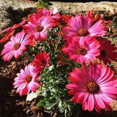 #pink #daisies Daisies, Plants, Pink, Instagram, Margaritas, Margarita Flower, Plant, Pink Hair, Roses