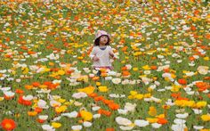 A little girl plays amid Iceland poppies in full bloom at a park in Tokyo