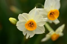 Narcissus/水仙/スイセン
