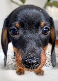 Dachshund Puppies, Dogs And Puppies, Doggies, Maltese Puppies, Dapple Dachshund, Wiener Dogs, Daschund, Terrier Puppies, Silly Dogs
