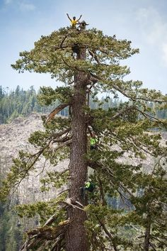 """Climbing Big Lonely Doug by huffingtonpost: """"Big Lonely Doug"""", a recently found old-growth Douglas-fir tree standing alone in a clear cut on southern Vancouver Island, has been officially measured to be the second largest Douglas-fir tree in Canada. #Trees #Fir #Old_Growth_Forest"""