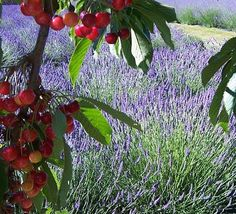 Sequim, Washington Lavender Festival