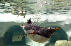 Happy Feet abound at the Penguin exhibit - Kansas City Zoo