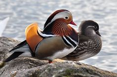 """Mandarin Ducks (Aix galericulata)by Roland zh, : Because the male and female plumages of the Mandarin Duck are so unalike, yuan-yang is frequently used colloquially in Cantonese to mean an """"odd couple"""" or """"unlikely pair"""" http://en.wikipedia.org/wiki/Mandarin_Duck #Ducks #Mandarin_Duck"""