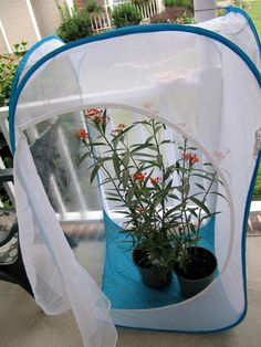 This is my Monarch rearing tent. It is 4 feet tall and I can fit the whole potted plants inside.