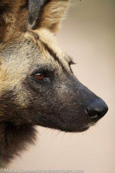 Tumblr Lycaon de Marius Coetzee African wild dog