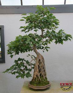 Trident maple - Acer buergerianum - Aceraceae - 40 years old Bonsai Bonsai Acer, Maple Bonsai, Bonsai Plants, Bonsai Garden, Bonsai Trees, Bougainvillea Bonsai, Juniper Bonsai, Succulents Garden, Air Plants