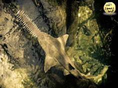 Testere balığı'nın ağzı kafasının alt yüzündedir ve ufak, küt dişlerle silâhlıdır. Bu balık yiyecek elde etmede «testere» sinden yararlanır. Balık sürülerinin arasına dalarak bu uzvunu sağa, sola sallar, ya da bununla dipteki çamurları karıştırır.