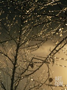 The Frozen Branches of a Small Birch Tree Sparkle in the Sunlight Photographic Print by Raymond Gehman at Art.com