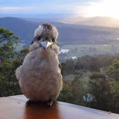 """A happy Kookaburra photobombing the perfect view in Australia..."""