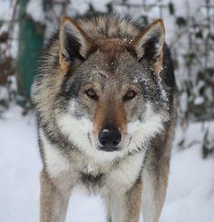 Chien Loup Tchécoslovaque American Indian Dog, Indian Wolf, Hyena, Husky, Dog Cat, Wolves, Tamaskan, Wolfdog, Czechoslovakian Wolfdog