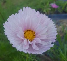 Cupcake cosmo pink  #cosmo #cupcakecosmo Flower Cupcakes, Cosmos, Bloom, Flowers, Plants, Pink, Plant, Royal Icing Flowers, Pink Hair