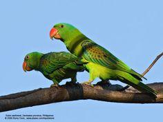 Azure-rumped Parrot (Tanygnathus sumatranus) Philippines