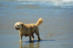 old beach dog 4 Pet Photos, Dog Beach, New Zealand, Labrador Retriever, Pets, Photography, Animals, Labrador Retrievers, Animals And Pets