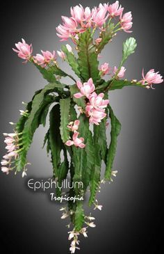 Argus Epiphyllum Orchid Cactus Cutting #Cactus | House Plants ...