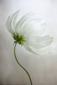 Cosmos by Mandy Disher White Flowers, Beautiful Flowers, Exotic Flowers, Colorful Flowers, Beautiful Things, Beautiful Pictures, Fleur Orange, Arte Floral, Shades Of White