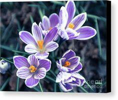 #AnnaMatveeva #crocus #blu #spring #purple #FineArtPhotography #ArtForHome #Flowers                   https://anna-matveeva.pixels.com