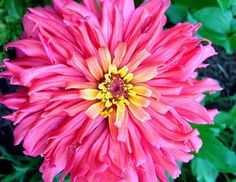 Senorita Zinnia Seeds Heirloom Zinnia Cactus Flowered Zinnia Seeds Great for Butterfly Gardens