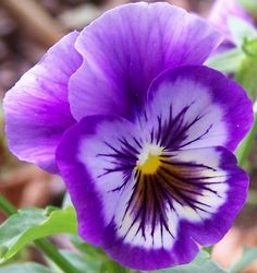 Pansy.  For a playful flower, Pansies are my favorite.  I always called them monkey faces when I was little.