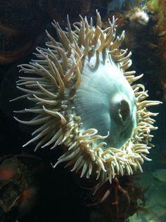 Anemone. Monterey Bay Aquarium. Zippertravel.com Digital Edition