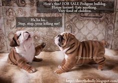 FUNNY: During the shooting of these photos the girls got to discussing how we should write up their for sale ad.  Visit http://daisythebully.blogspot.com for more fun English Bulldog photos