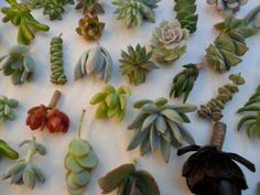 140 Succulents Cuttings W/ Rooting Powder, Great For Living Walls, Dish Gardens, Favors And More on Etsy, $126.00  #Vintage #Fashion #2014 #Spring
