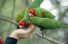 El Loro y las Enfermedades Transmisibles http://www.mascotadomestica.com/articulos-sobre-aves/el-loro-y-las-enfermedades-transmisibles.html