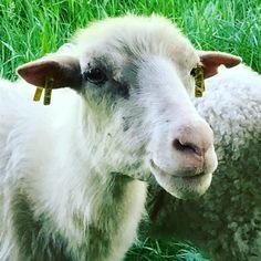 """Gefällt 531 Mal, 1 Kommentare - naninka rösler (@naninkastravelspots) auf Instagram: """"Moorschnucken im Räuberland #grünland #Grünland-Projekt #räuberland #Spessart #mespelbrunn…"""""""