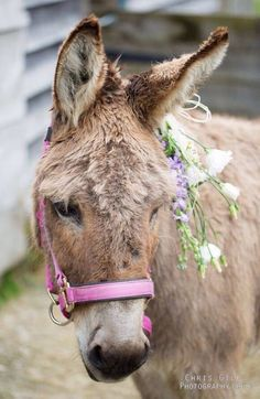 Don't let the pink halter and the flowers deceive you. A donkey is a donkey
