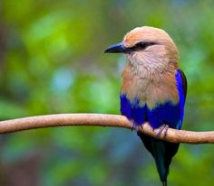 Blue-bellied Roller- Coracias cyanogasterAs its common name suggests, the Blue-bellied roller, Coracias cyanogaster (Coraciiformes - Coraciidae),is a small bird with blue belly, dark blue or dark green wings, and azure-blue tail. These striking birdsare found in western and central Africa, from Senegal eastward to southern Sudan.Blue-bellied rollers are known for their tendencies to sit in trees at about ten meters off the ground and dive to the forest floor for insects. They also
