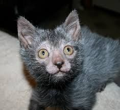 Werewolf kitten