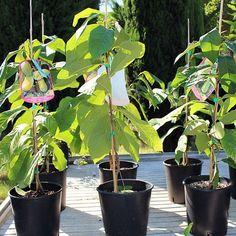 #Piante #Asimina Triloba Sunflower #PawPaw - Spedizione Gratuita da € 50 @europlantsvivai Medicinal Herbs, Organic, Farming, Italia