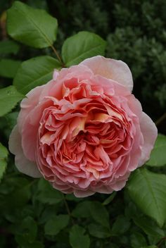 Abraham Darby, David Austin Rose