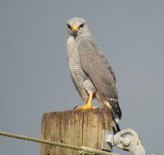 Grey Falcon - Falco hypoleucos