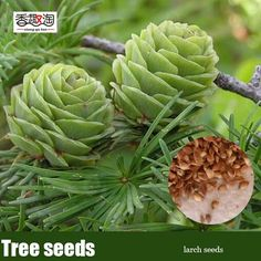 120pcs Larch Seeds, Family Air Purification Pine Tree Seeds