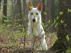 The White Shepherd~ Future pup! German Shepherds, German Shepherd Dogs, White Swiss Shepherd, Saarloos, Companion Dog, Schaefer, Irish Wolfhound, Arwen, Dog Items