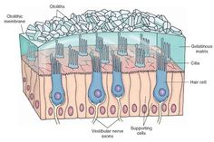 Note that the cilia from the hair cells are embedded in a gelatinous matrix of the otolithic membrane containing otoliths that are composed of calcium carbonate crystals. Vestibular System, Sensory System, Lynchburg College, Physician Assistant School, Human Anatomy And Physiology, Neurons, Neuroscience, Medical, Calcium Carbonate