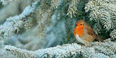 Robin Photos, Robin Redbreast, Snow Forest, Robin Bird, Free Hugs, Snow And Ice, Bird Art, Birds, Robins