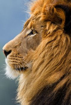 Kind of lion I want a tattoo of. Like maybe black & white, any suggestions?