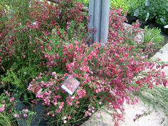 "Cytisus ""Boskoop ruby"", pinkish red flowers in late may, 120cm"