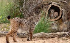 In the Iberian lynx was identified as the world's most endangered cat, with just 94 left in the wild and looked all set to become the first species of cat to die out since the sabre-toothed tiger years ago. Baby Animals, Funny Animals, Cute Animals, Wild Animals, Funny Cats, Beautiful Cats, Animals Beautiful, Big Cats, Cute Cats