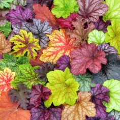 Heuchera Plant Collection Hardy for Zone 4